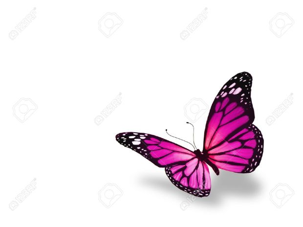 wpid-15562872-pink-butterfly-isolated-on-white-background-stock-photo.jpg